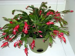 christmas plant christmas cactus hot flashed funk