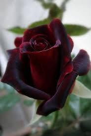 burgundy roses burgundy velvet roses burgundy