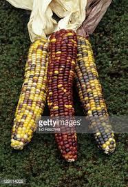 closeup of kernels of ornamental or indian corn flint corn zea