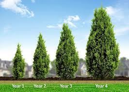 fast growing arborvitae emerald green arborvitae privacy trees