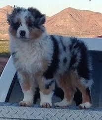 twin oaks 2 australian shepherd we breed quality akc australian shepherd puppies we go above and