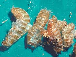 How Long Do Fleas Live In Carpet Best Control Tips On How To Get Rid Of Carpet Beetles