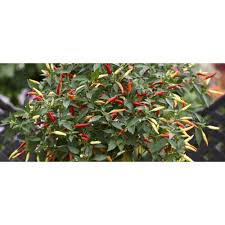 proven winners basket of fire pepper live plant vegetable 4 25