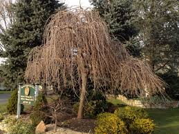 weeping ornamental trees for landscaping door decorations