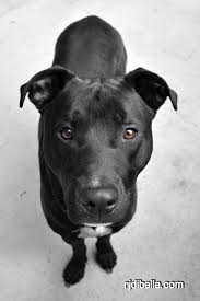 american pitbull terrier mix pitbull lab mix images mojo the dog hes a black lab pit bull