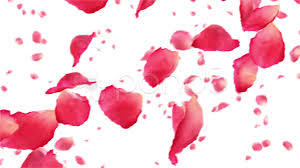 flower petals flying petals on white hd 1080 looped animation footage