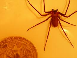 Brown Recluse Map I Just Found A Brown Recluse In My Bed Tilted Forum Project