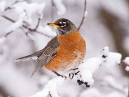 more robins are sticking around in winter all about birds