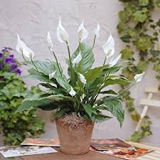 Peace Lily Plant Spathiphyllum Chopin Peace Lily 1 Plant Amazon Co Uk Garden
