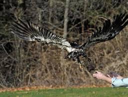 clifton park spirit halloween spirit the bald eagle flies again on wings prayers times union