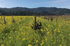 napa valley ground mustard joe becerra wine country getaways