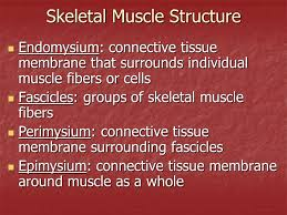 Anatomy And Physiology The Muscular System Anatomy Of The Muscular System Anatomy U0026 Physiology Ppt Download
