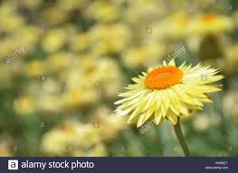 australian native plant names australian native yellow paper daisy flower background also known