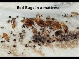 Bed Bugs On Mattress How To Tell If You Have Bed Bugs What Do Bed Bugs Look Like