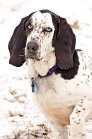 bluetick coonhound youtube basset hound blue tick hound bassett hound obsession