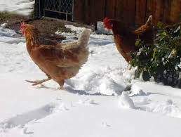 Chickens In The Backyard by Preparing Backyard Chickens For Winter