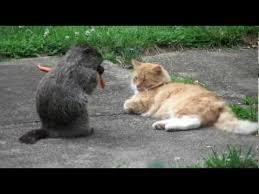 groundhog cat