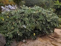 australian native plant seeds australian native shrubs gardening with angus