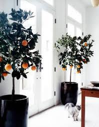 ls that look like trees calamondin indoor orange trees little green notebook
