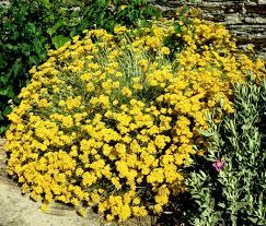 plante vivace soleil immortelle vivace planter et cultiver u2013 ooreka