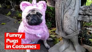 funny pugs in costumes youtube