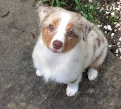 5 month old miniature australian shepherd view ad miniature australian shepherd puppy for sale texas