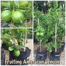 grafted and marcotted seedlings for pundisyon grafted fruit