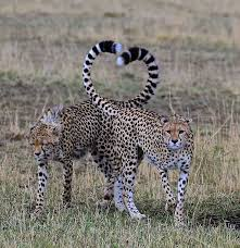 affectionate cheetahs wallpapers 653 best t cheetah images on pinterest big cats mammals and