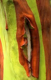 33 best rainbow trees images on pinterest rainbow eucalyptus