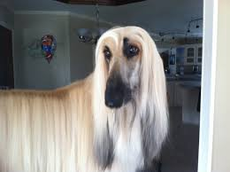 afghan hound blonde afghan hound google search dogs on pinterest