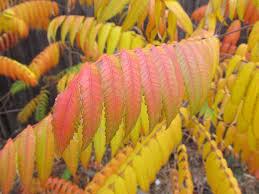 autumn leaves u2013 awkward botany