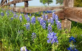 best places to see bluebonnets in austin this spring austin