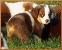 mini australian shepherd 7 weeks mini aussie pup for sale 2014 litter 5 callie pup 2 red merle