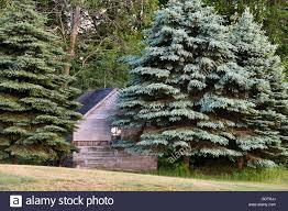 blue spruce trees rustic cabin in blue spruce trees stock photo 111793434 alamy