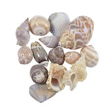 assorted seashells indian mix assorted craft seashells large 1 3 1 kilo