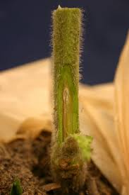 Tomato Plant Wilt Disease - ncsu pdic my tomato plants are wilting and then they die