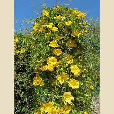 gelsemium sempervirens vines plant type boething treeland farms