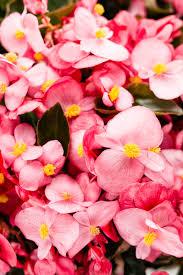 begonia flower surefire begonia benariensis proven winners