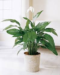 peace plant spathiphyllum peace 50 seeds best indoor air
