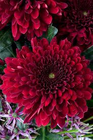 best 25 november birth flowers ideas on pinterest aster flower