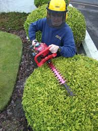 decorating privet hedge plants shaping process