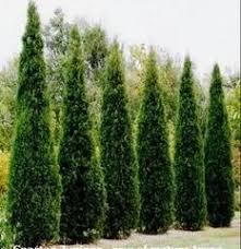 cypress for vertical design low maintenance backyard