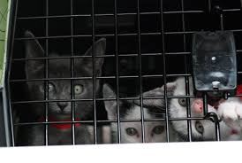 arl transports 60 kittens from overcrowded florida rescue