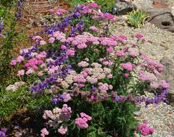 native northern california plants some colorful california native summer bloomers