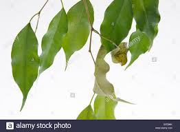 symbolism of a tree clip image drying leaves of potted fig tree ficus benjaminii stock