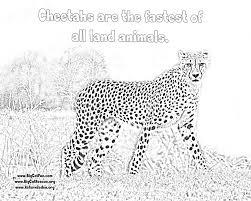 online cheetah coloring pages lexilu pinterest cheetahs