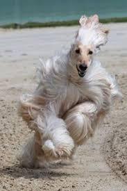 afghan hound speed breed of the week afghan hound 06 13 16 barking bad