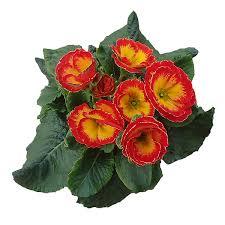 dalia in vaso primula veris vaso 10 floricoltura magnani di magnani gianpaolo