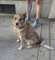 australian shepherd beagle mix dog of the day mascha the beagle australian cattle dog the dogs