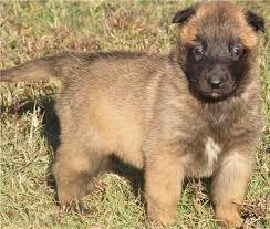 belgian sheepdog available belgian shepherd malinois puppies funny puppy u0026 dog pictures